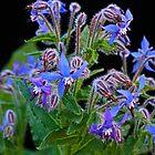 Borage flowering in spring by fantasytripp