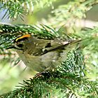 Goldcrest by AnnDixon