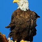 Majestic Bald Eagle ! by jozi1