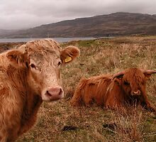 To be a Cow - Isle of Mull by Kat Simmons