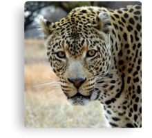 If looks could kill..... Canvas Print