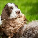 Orvieta Italian Spinone Puppy Buddy & Sienna by heidiannemorris