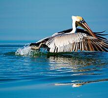 Brown Pelican Inflight by imagetj