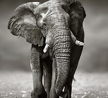 Elephant approach from front by johanswanepoel