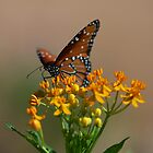Monarch on flower by Stacie Forest