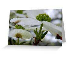 Dogwood Blooms     ^ Greeting Card