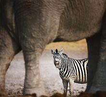Zebra barking by johanswanepoel