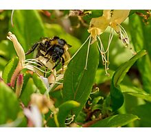 Yet Another Bumble Bee on the Honeysuckle Photographic Print