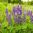 Lupins Popular Atlantic Floral by Roxane Bay