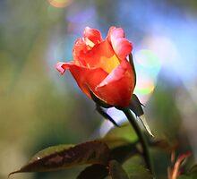 Bokeh Rose -Vintage Russian Lens Blur by rennaisance