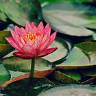 Water Lily in Pink by Scott Mitchell