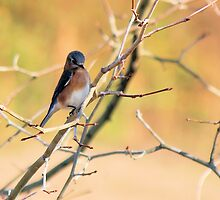 Eastern Bluebird by Bob Hardy