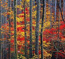 AUTUMN, HARDWOOD FOREST by Chuck Wickham