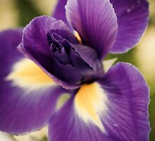 Purple iris by lightwanderer