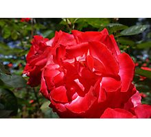 Big Red Rose Flower Art Print gifts Roses Garden Photographic Print