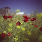 Red wild flowers poppies on hot summer day in urban city wasteland Hasselblad square medium format film analogue photo by edwardolive