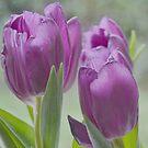 Tulips by lynn carter