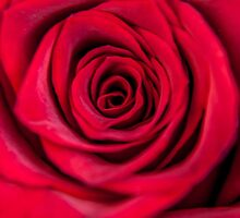 Roses are Red by AlexFHiemstra