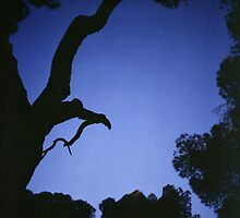 Tree branches in silhouette against blue dusk sky  square medium format film analogue photographs by edwardolive