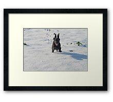 Black cocker spaniel in snow Framed Print