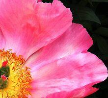 Hot Pink Peony by NatureRocks