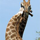 WHEN GIANTS COLLIDE - GIRAFFE – Giraffa Camelopardalis (KAMEELPERD) by Magaret Meintjes