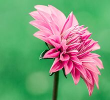 Pink Petals by ncp-photography