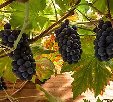 Fruits of the vine  by Rob Hawkins