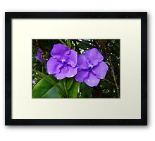 Brunfelsia flower (Yesterday, Today and Tomorrow) Framed Print