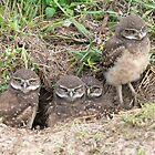 Burrowing Owls by Kay Reynolds
