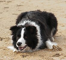 Ollie the Collie....Now where are those Sheep.......?! by Roy  Massicks