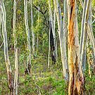 Southern Gums - Tumbarumba - The HDR Experience by Philip Johnson