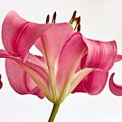 Graceful Lily by Kim Andelkovic