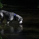 Great dane in a stream by turniptowers