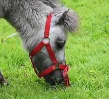 Little Donkey by Mounty