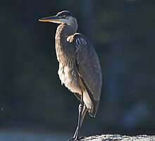 Immature Great Blue Heron by Michele Conner