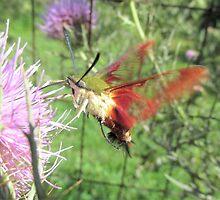 Hummingbird Moth by Ginny York