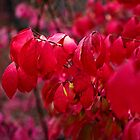 Burning Bush  by PhotosByHealy
