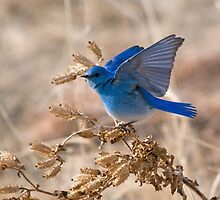 Bluebird with lifted wings by Eivor Kuchta
