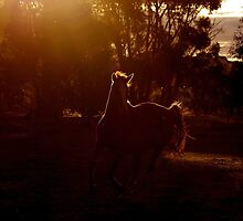 Light in equine motion  by kurrawinya