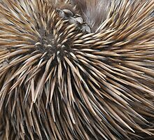 Echidna Quills by peter694