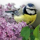Little Blue Tit by Morag Bates