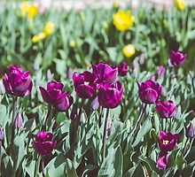 Purple Tulips by sgbphotos