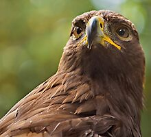 Golden Eagle by Peter Sucy