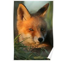 Portrait of young Red Fox Poster