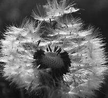 Dandelion seed head #1 by davidpreston