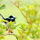 Fairy Wren #3 by bekyimage