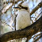 Kookaburra #2 by bekyimage