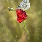 Red and white by JBlaminsky