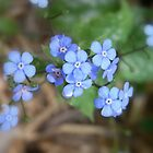 not forget-me-not by Floralynne